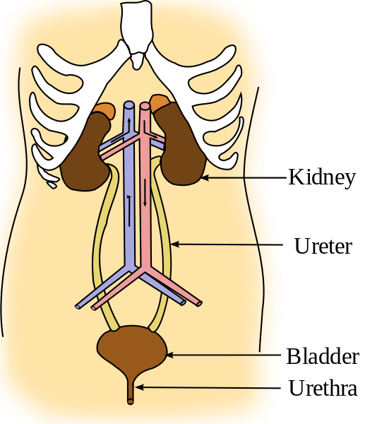 Diagram of the urinary system